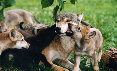 Conservation and management of wolves in Croatia
